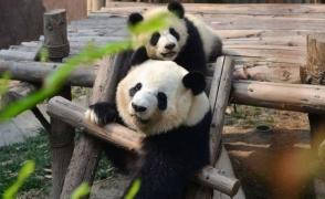 Китайский зоопарк питомник и заповедник панд в Чэнду
